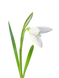 beautiful snowdrop flower white isolated on white background
